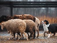 Banrisul lança linha de crédito rural inédita que financia cães para o serviço de pastoreio